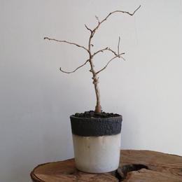 オペルクリカリア  デカリー   no.002  Operculicarya decaryi