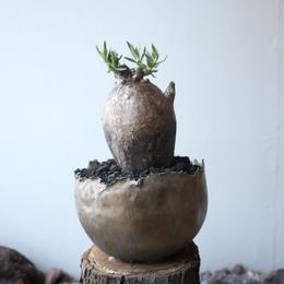 パキポディウム   ビスピノーサム   no.008   Pachypodium bispinosum