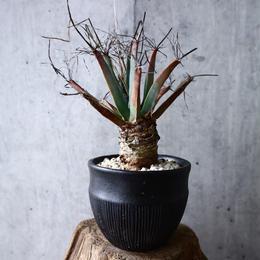 レウクテンベルギア  晃山    Leuchtenbergia principis  no.007