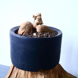 プテロカクタス ツベローサス   黒竜     Pterocactus tuberosus   No.31022