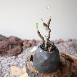 ペラルゴニム    ミラビレ no.016    Pelargonium mirabile