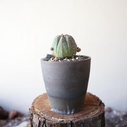 ユーフォルビア  仔吹きオベサ   no.063  Euphorbia obesa