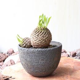 ユーフォルビア    鉄甲丸    no.002    Euphorbia bupleurifolia