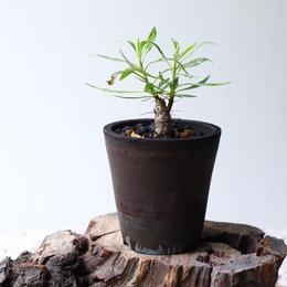 フォークイエリア   プルプシー  no.035  Fouquieria purpusii