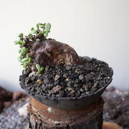 ケラリア  ピグマエア  no.024    Ceraria pygmaea