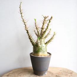 パキポディウム  サンデルシー   no.006  Pachypodium saundersii