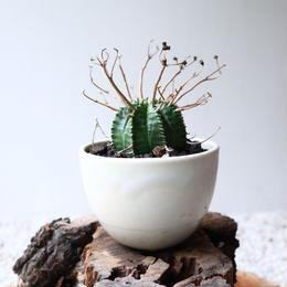 ユーフォルビア  バリダ   no.045-2   Euphorbia valida