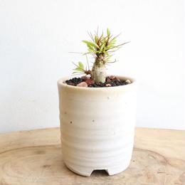 フォークイエリア   プルプシー  no.012  Fouquieria purpusii