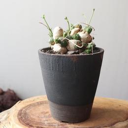 ユーフォルビア グロボーサ  no.011    Euphorbia globosa