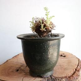 ペラルゴニウム   アッペンディクラツム  no.007  Pelargonium appendiculatum