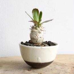 ユーフォルビア    ユニスピナ  no.003   Euphorbia   unispina