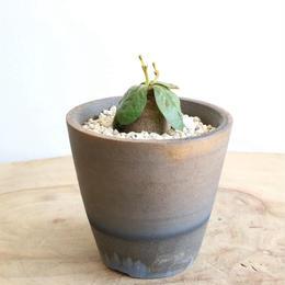 ユーフォルビア エクロニー Euphorbia ecklonii