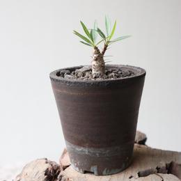 フォークイエリア   プルプシー  no.028  Fouquieria purpusii