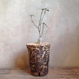 フォッケア   アングスティフォリア  no.02    Fockea angustifolia