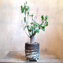 アデニア     スピノーサ    no.001  Adenia     spinosa