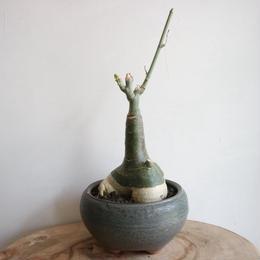 アデニア   グラウカ  no.001   Adenia glauca