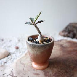 ユーフォルビア  アンボボベンシス   Euphorbia ambovombensis no.81204