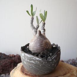 パキポディウム グラキリス    no.015   Pachypodium rosulatum var. gracilius