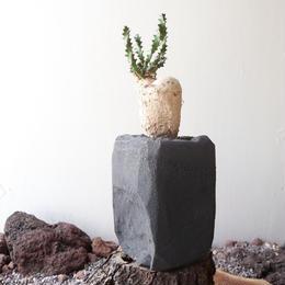 ユーフォルビア    スクアローサ    奇怪島    no.001  Euphorbia squarrosa