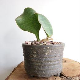 サンセベリア マッソニア    no.001  Sansevieria masonia