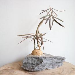 ユーフォルビア   ワリンギアエ  no.006  Euphorbia waringiae