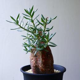 パキポディウム   ビスピノーサム   Pachypodium bispinosum  no.92304