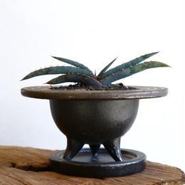 アロエ スプラフォリアータ   no.001   Aloe suprafoliata