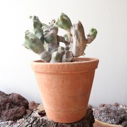 ロフォケレウス  福禄寿    no.009   Lophocereus schottii