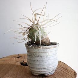 テフロカクタス   アーティキュラータス   武蔵野   no.001   Tephrocactus articulatus