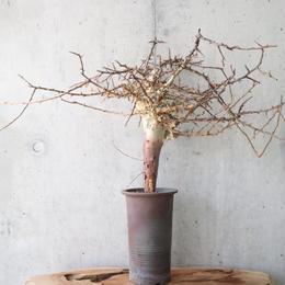 コミフォラ   アフリカーナ    no.002    Commiphora africana