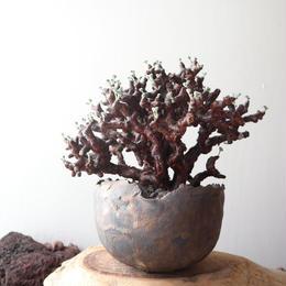 ペラルゴニム    ミラビレ no.012    Pelargonium mirabile