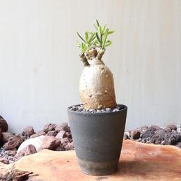 パキポディウム  サキュレンタム    no.007  Pachypodium succulentum