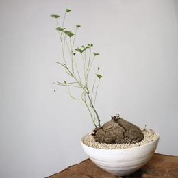 ディオスコレア   亀甲竜   no.008  W8cm   Dioscorea elephantipe