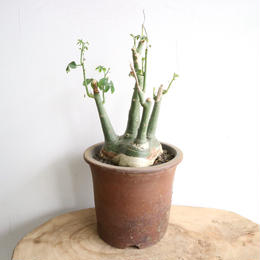 アデニア   グラウカ  no.009   Adenia glauca