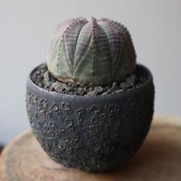 ユーフォルビア  オベサ   no.013    Euphorbia obesa
