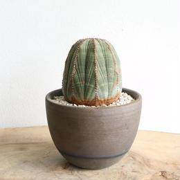 ユーフォルビア  オールドオベサ    no.025   Euphorbia obesa