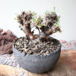 オトンナ   ユーフォルビオイデス  no.005  Othonna   euphorbioides