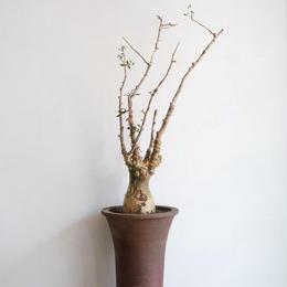 コミフォラ  フンベルティ   no.001  commiphora   humbertii