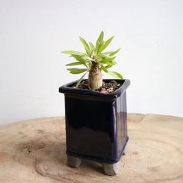 フォークイエリア   プルプシー  no.011  Fouquieria purpusii