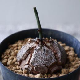 ディオスコレア   亀甲竜    Dioscorea elephantipe  no.923-9