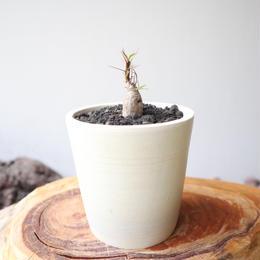 フォークイエリア   プルプシー  no.022  Fouquieria purpusii