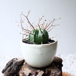 ユーフォルビア  バリダ   no.044-1   Euphorbia valida