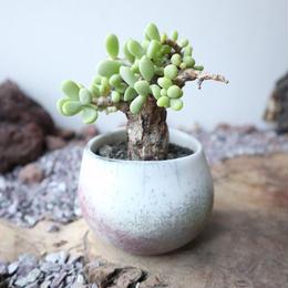 ケラリア  ピグマエア  ×   打田 翠    Ceraria pygmaea