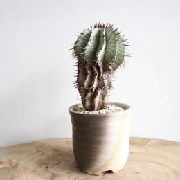 ユーフォルビア   ホリダ  ストリアータ  no.008  Euphorbia horrida var. striata