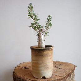 フォークイエリア   コルムナリス   no.005  Fouquieria columnaris