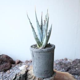 アガベ  ユタエンシス    エボリスピナ     no.007   Agave uthaensis var. eborispina
