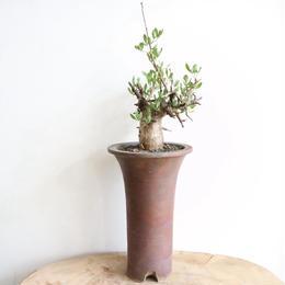 コミフォラ フォリアセア  no.001   Commiphora foliacea