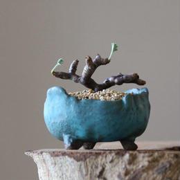 ペラルゴニム    ミラビレ no.003  Pelargonium mirabile