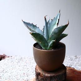 アガベ チタノタ(ランチョタンバー)   no.003   agave titanota