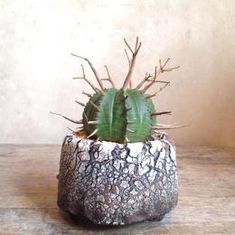 ユーフォルビア  バリダ   no.45  Euphorbia valida